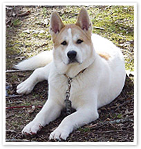 Akita Dog
