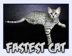 Fastest Cat