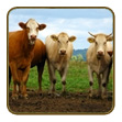 Cattle Products